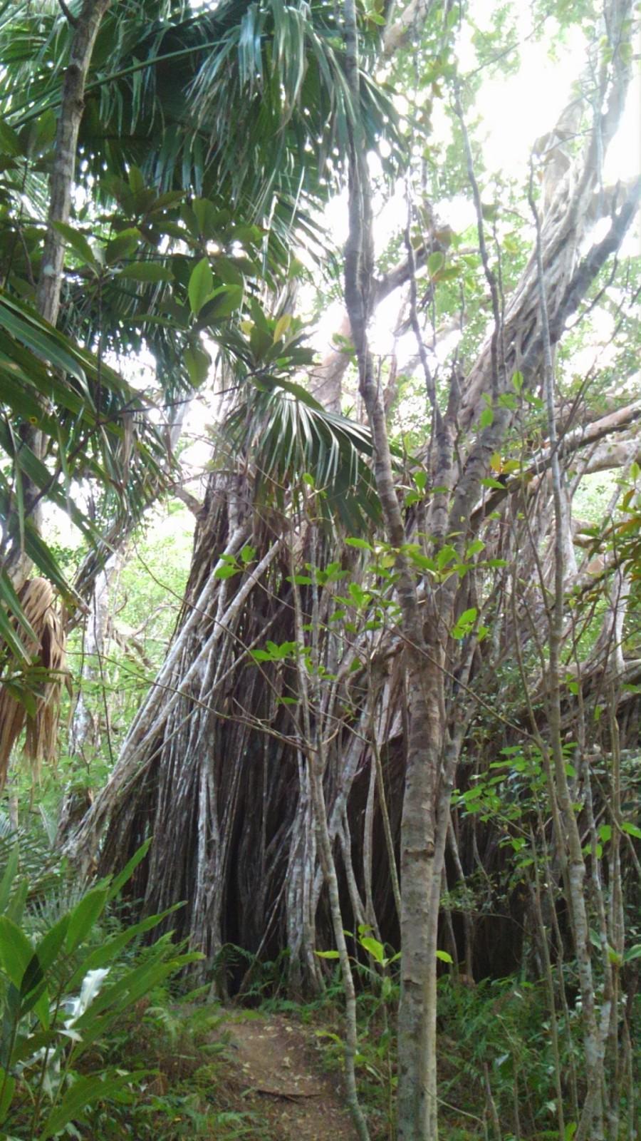 ガジュマルの樹